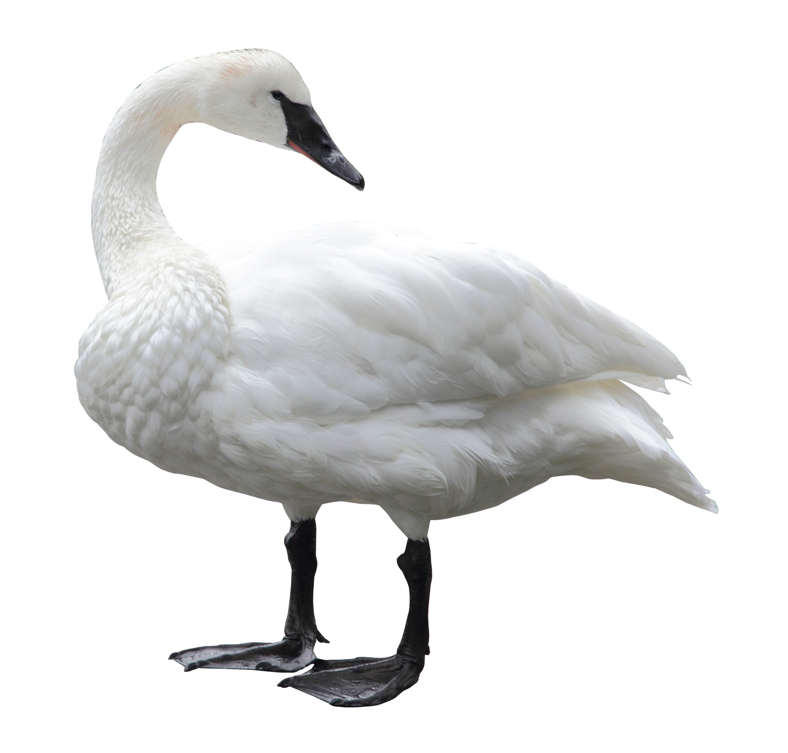 png images swan  24  png snipstock goose clip art black and white goose clip art free