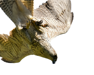 falcon-2684852_960_720.png