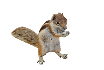 Chipmunk-270288 PSD file with small and medium free transparent PNG images