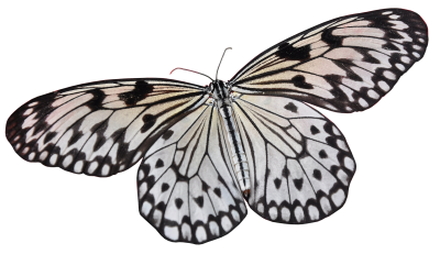 Butterfly, Insect, Wing, Nature, Lepidoptera, AnimalButterfly Insect Wing Nature Lepidoptera Animal.png