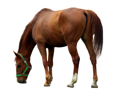 Horse, Isolated, Animal, Brown, Brown Horse, Mane, RideHorse Isolated Animal Brown Brown Horse Mane Ride.png