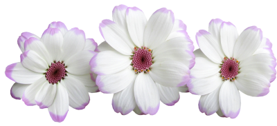 Flowers, White, Decoration, FloralFlowers White Decoration Floral.png