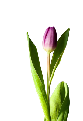 Tulip-320874 PSD file with small and medium free transparent PNG images