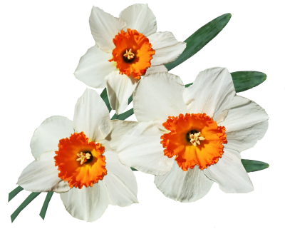 Flowers, Daffodils, Bulbs, Spring, Garden, Cut OutFlowers Daffodils Bulbs Spring Garden Cut Out.png