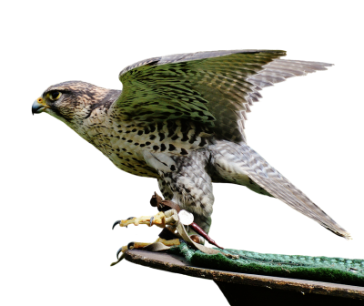 falcon-2681832_960_720.png