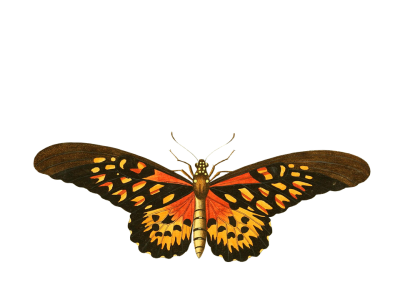 Butterfly-PNG-image.png