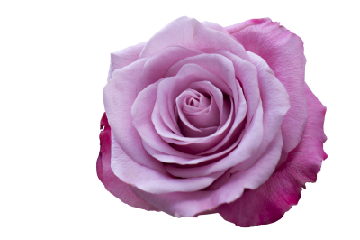 Emotion, Roses, Pink PurpleEmotion Roses Pink Purple.png