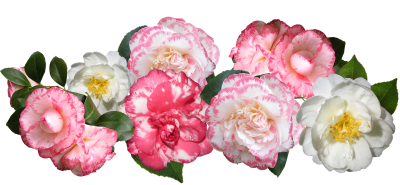 Camellias, Flowers, Mixed, Blooms, Garden, ArrangementCamellias Flowers Mixed Blooms Garden Arrangement.png