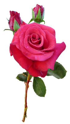 PNG images Rose (13).png