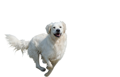 Golden-retriever-672818 PSD file with small and medium free transparent PNG images