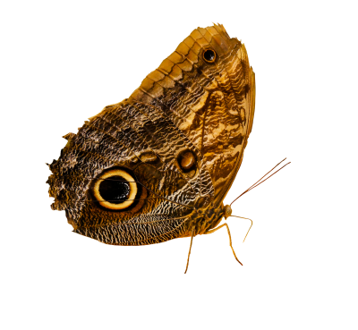Animal World, Butterfly, Insect, Wing, Owl ButterflyAnimal World Butterfly Insect Wing Owl Butterfly.png