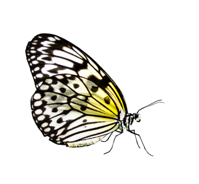 Butterfly, Insect, Wing, Nature, Flying, ProbeButterfly Insect Wing Nature Flying Probe.png