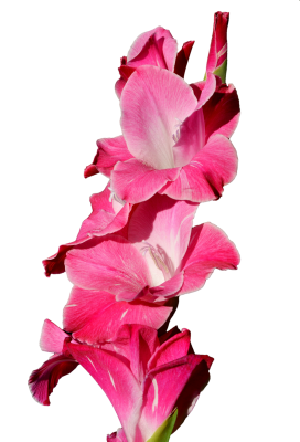 Gladiolus, Gladidus, Butterfly Greenhouse, Sword FlowerGladiolus Gladidus Butterfly Greenhouse Sword (2).png