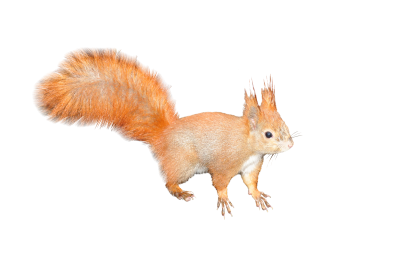 The-squirrel-224312 PSD file with small and medium free transparent PNG images