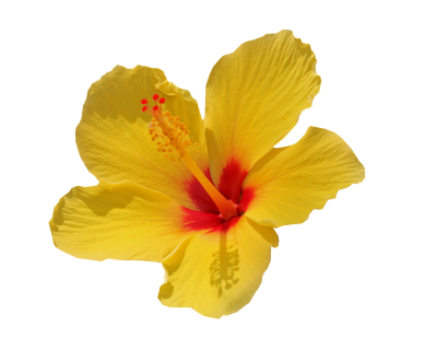 Flower, Yellow, Isolated, Cut Out, Summer, BlossomFlower Yellow Isolated Cut Out Summer Blossom.png