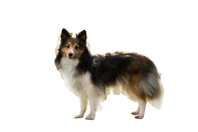 Sheltie-1023012 PSD file with small and medium free transparent PNG images