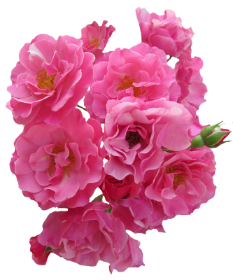 Roses, Pink, Flowers, Garden Roses, Nature, Pink RoseRoses Pink Flowers Garden Roses Nature Pink Rose.png