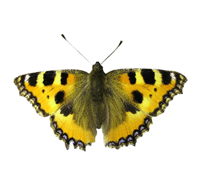 PNG images Butterfly (35).png