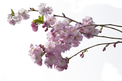 cherry-tree-752904_960_720.png