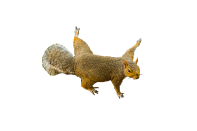 Squirrel-845125 PSD file with small and medium free transparent PNG images