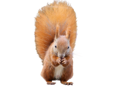 Squirrel-1001701 PSD file with small and medium free transparent PNG images