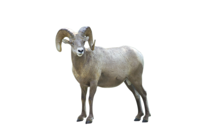 PNG images: Sheep