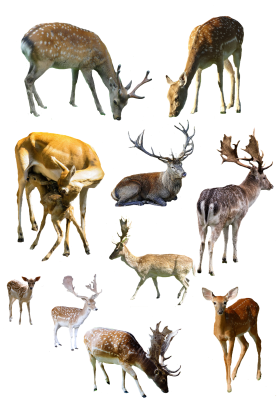 Forest, Animals, Deer, MultipleForest Animals Deer Multiple.png