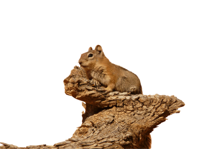 Golden-mantled-ground-squirrel-4587 PSD file with small and medium free transparent PNG images