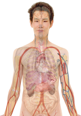 Anatomy-254129 PSD file with small and medium free transparent PNG images