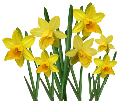 daffodil png images, daffodils, flowers, flower, summer, welsh flower