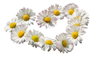 Daisy-712898 PSD file with small and medium free transparent PNG images