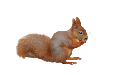 The-squirrel-212560 PSD file with small and medium free transparent PNG images