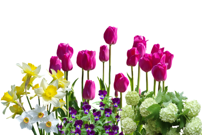 Spring, Daffodils, Tulips, Spring Flowers, HydrangeasSpring Daffodils Tulips Spring Flowers Hydrangeas.png