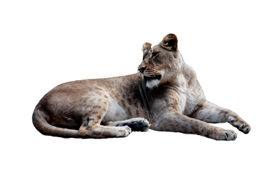 Lion, Animal, Isolated, Big Cat, Cut OutLion Animal Isolated Big Cat Cut Out.png