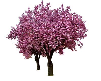 cherry-blossoms-1320317_960_720.png