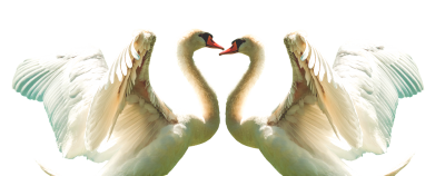 Swan, Fly, Feather, Bird, White, Wing, Flying, WingsSwan Fly Feather Bird White Wing Flying Wings.png