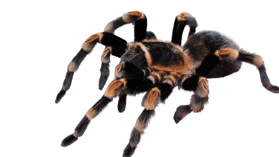 PSD files Tarantula