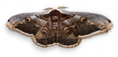 Night Butterfly, Butterfly Giant, Saturnia PyriNight Butterfly Butterfly Giant Saturnia Pyri.png