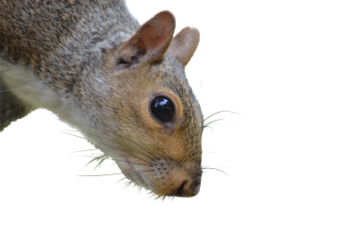 Squirrel-1225969 PSD file with small and medium free transparent PNG images