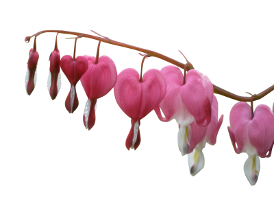 Dicentra-spectabilis-1109828 PSD file with small and medium free transparent PNG images