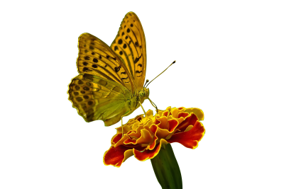 Butterfly, Flower, NatureButterfly Flower Nature.png