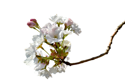 Branch, Cherry Blossom, Cherry Tree, Cherry BrancheBranch Cherry Blossom Cherry Tree Cherry Branche.png