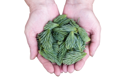 Pine-leaves-691639 PSD file with small and medium free transparent PNG images
